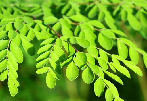 leaves from the moringa tree